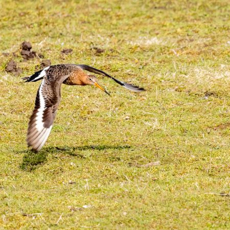 Low flying Blacktailed Godwit